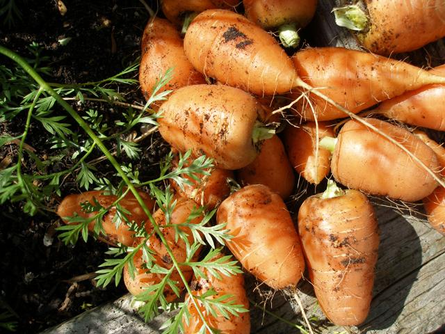 Carrots1009